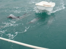 Dolphins playing with the dinghy
